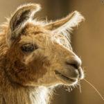 Gita con i Lama